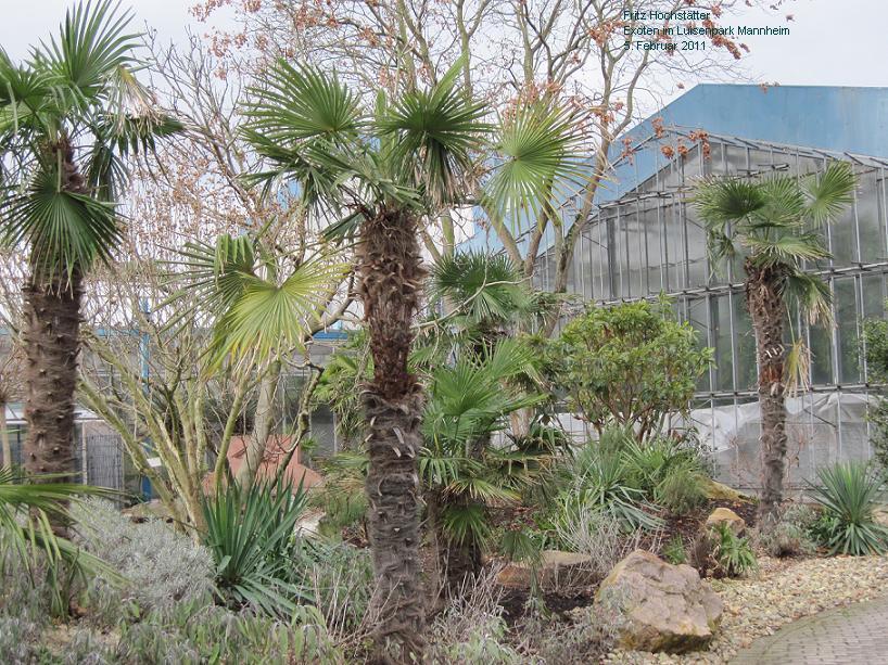 yucca palmen yucca palme absterben flickr photo sharing. Black Bedroom Furniture Sets. Home Design Ideas